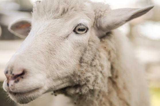 Schafe Ziegen